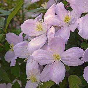 【クレマチス】【5号大株】クレマチス「エリザベス」|shikoku-garden