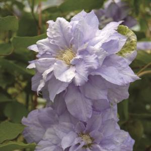 【クレマチス】【5号大株】クレマチス「マズリー」|shikoku-garden