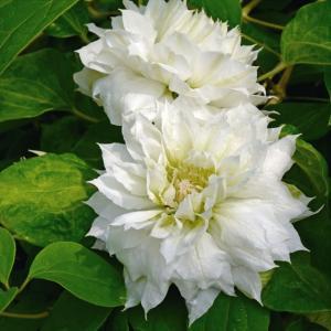 【クレマチス】【5号大株】クレマチス「ダッチェス・オブ・エジンバラ」|shikoku-garden