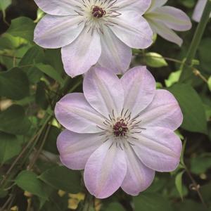 【クレマチス】【5号大株】クレマチス「ドーン」|shikoku-garden