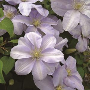 【クレマチス】【5号大株】クレマチス「シルバー・ムーン」|shikoku-garden