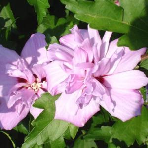 ムクゲ「アーデンス」|shikoku-garden
