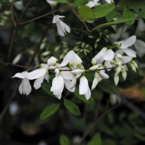 白花ニワフジ|shikoku-garden