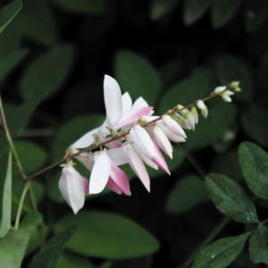 桃花ニワフジ|shikoku-garden