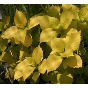 黄金葉アジサイ|shikoku-garden