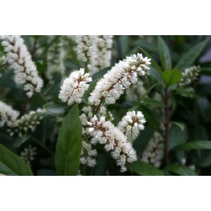 赤花ズイナ|shikoku-garden