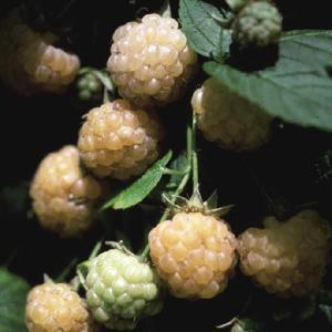 【果樹苗】ラズベリー「ファールゴールド」(15cmp)|shikoku-garden