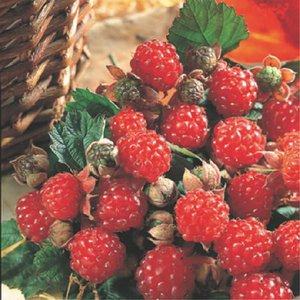【果樹苗】ラズベリー「インディアンサマー」(15cmp)|shikoku-garden