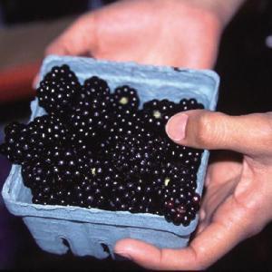 【果樹苗】ブラックベリー「ジャンボ」(15cmp)|shikoku-garden
