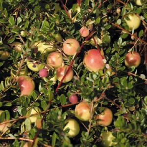 【果樹苗】クランベリー(10.5cmp)|shikoku-garden