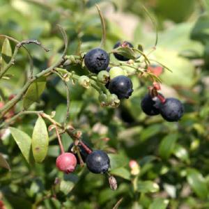 【果樹苗】ビルベリー(13.5cmp)|shikoku-garden