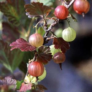 【果樹苗】グースベリー(9cmp)|shikoku-garden