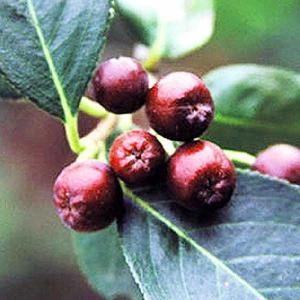 【果樹苗】アロニア(9cmp)|shikoku-garden