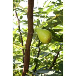【果樹苗】イチジク「バナナクィーン」(12cmp)|shikoku-garden