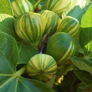 【果樹苗】イチジク「ペナシェ」12cmp|shikoku-garden