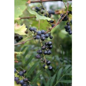 【果樹苗】一才ヤマブドウ|shikoku-garden