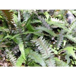 ノコギリヘラシダ|shikoku-garden
