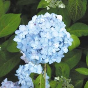 【2018年春〜 開花見込み株】ヤマアジサイ「佐久間テマリ」|shikoku-garden