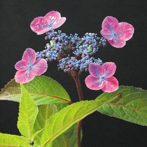 【2018年春〜 開花見込み株】ヤマアジサイ「紫紅梅」|shikoku-garden
