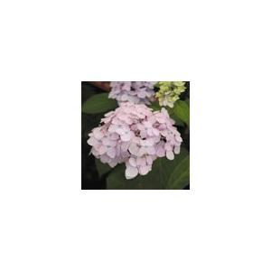【2018年春〜 開花見込み株】ヤマアジサイ「伊予テマリ」|shikoku-garden