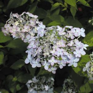 ヤマアジサイ「別子テマリ」|shikoku-garden