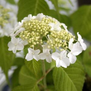 ヤマアジサイ「阿波白」|shikoku-garden