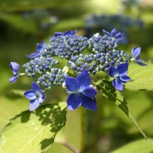 ヤマアジサイ「藍姫」|shikoku-garden