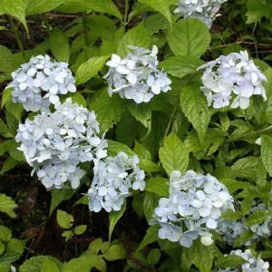 ヤマアジサイ「新宮てまり」|shikoku-garden