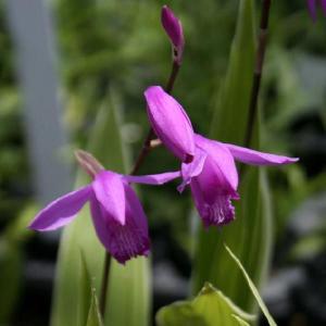 赤紫色の花を初夏に咲かせる強健種。 【耐寒性】強 【日照】日向  【水やり】普通   【ラン科】  ...