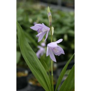 淡い青紫色の花を咲かせる花色変わりのシラン。初夏に涼しげな花を咲かせる。性質は丈夫で花付きも良い。 ...