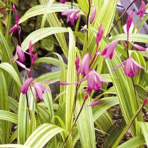 鮮やかな黄散縞斑が冴える人気の斑入り品種。花も濃紫色で花と斑入葉のコントラストが美しい。性質は丈夫で...