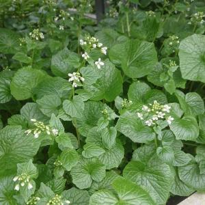 【山菜苗】畑ワサビ(4株)|shikoku-garden