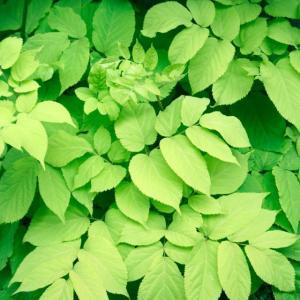 【山菜苗】ヤマウド(4株)|shikoku-garden