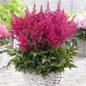 【宿根草】アスチルベ「ユニーク・ルビーレッド」 5号(15cm)ポット植え|shikoku-garden