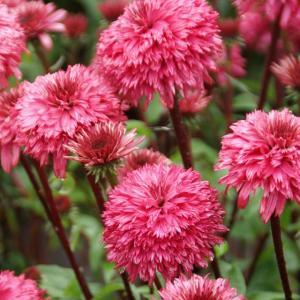【宿根草】エキナセア「ブラックベリー・トラッフル」 5号(15cm)ポット植え shikoku-garden