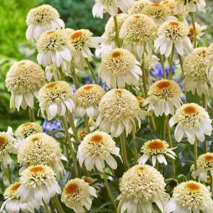 Echinacea 'Milkshake' 草丈60cm、白にオレンジ芯の八重咲強健品種。<b...