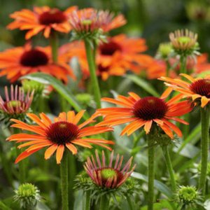 【宿根草】エキナセア「オレンジ・スキッパー」 5号(15cm)ポット植え shikoku-garden
