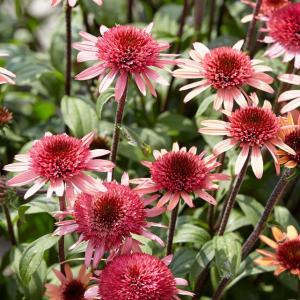 【宿根草】エキナセア「ラズベリー・トラッフル」 5号(15cm)ポット植え shikoku-garden