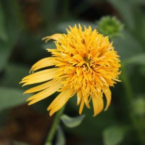 Echinacea 'Secret Glow'<br> 12〜15cmポット植え<...