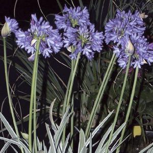 【宿根草】アガパンサス「シルバー・ムーン」 5号(15cm)ポット植え|shikoku-garden