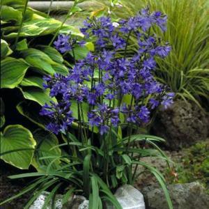 【宿根草】アガパンサス「ヘドボーン・ハイブリッド」|shikoku-garden