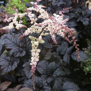 【宿根草】アスチルベ「チョコレート・ショーグン」 5号(15cm)ポット植え|shikoku-garden