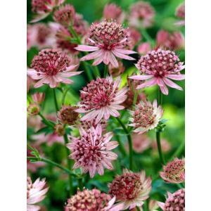 【宿根草】アストランチア「ローマ」 5号(15cm)ポット植え|shikoku-garden