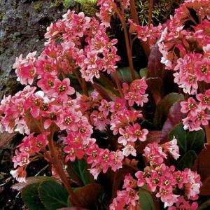 【宿根草】ベルゲニア「ピンク・ドラゴンフライ」 shikoku-garden