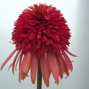 【宿根草】エキナセア「イレシスティブル」 5号(15cm)ポット植え shikoku-garden