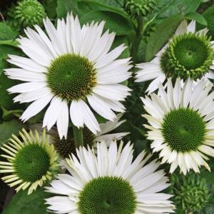 【宿根草】エキナセア「ヴァージン」 5号(15cm)ポット植え|shikoku-garden
