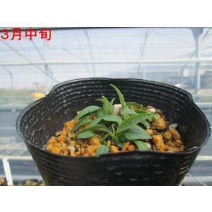 【宿根草】エキナセア「ヴァージン」 5号(15cm)ポット植え|shikoku-garden|02