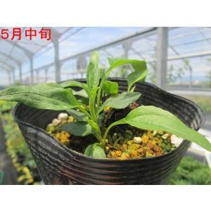 【宿根草】エキナセア「ヴァージン」 5号(15cm)ポット植え|shikoku-garden|03