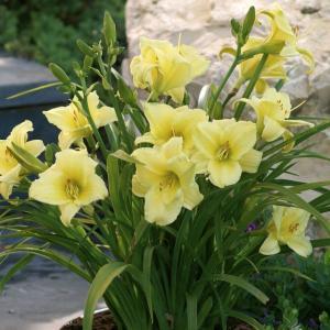 【宿根草】ヘメロカリス「フラグラント・リターンズ」 5号(15cm)ポット植え|shikoku-garden