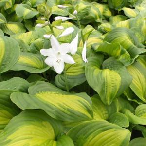 【宿根草】ホスタ「アボカド」|shikoku-garden